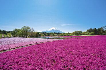 JALで行く! 富士芝桜・八重の大藤・一面のネモフィラ 関東3つの花めぐり