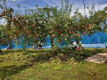 【#WeLove山陰キャンペーン割引対象商品】赤来観光りんご園りんご狩りと道の駅とんばら昼食セットプラン
